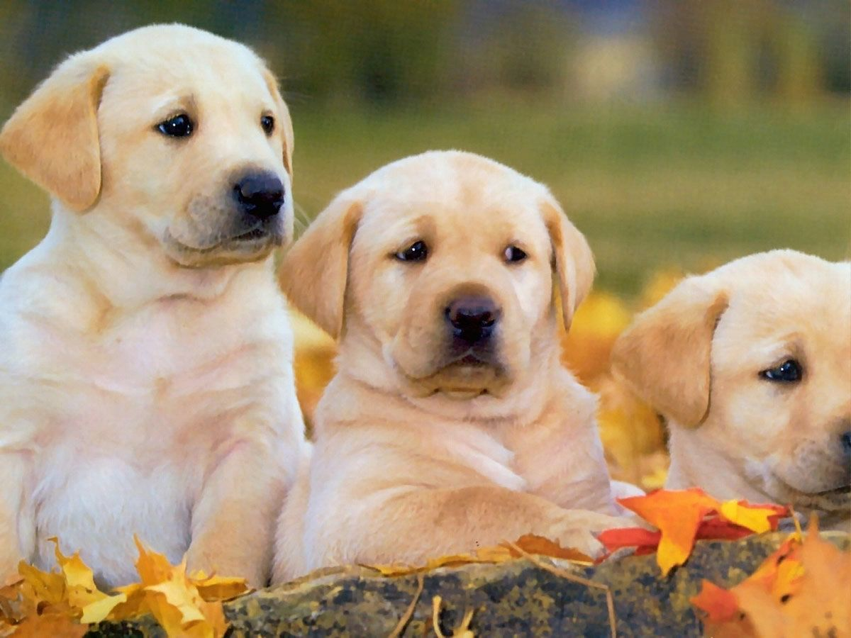 Golden Labrador Retriever Puppies Labrador Retriever Top 10 Dog Breeds Labrador Dog
