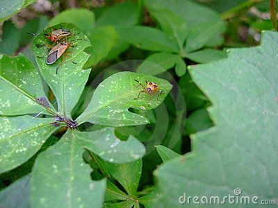 Insects on vine leaves
