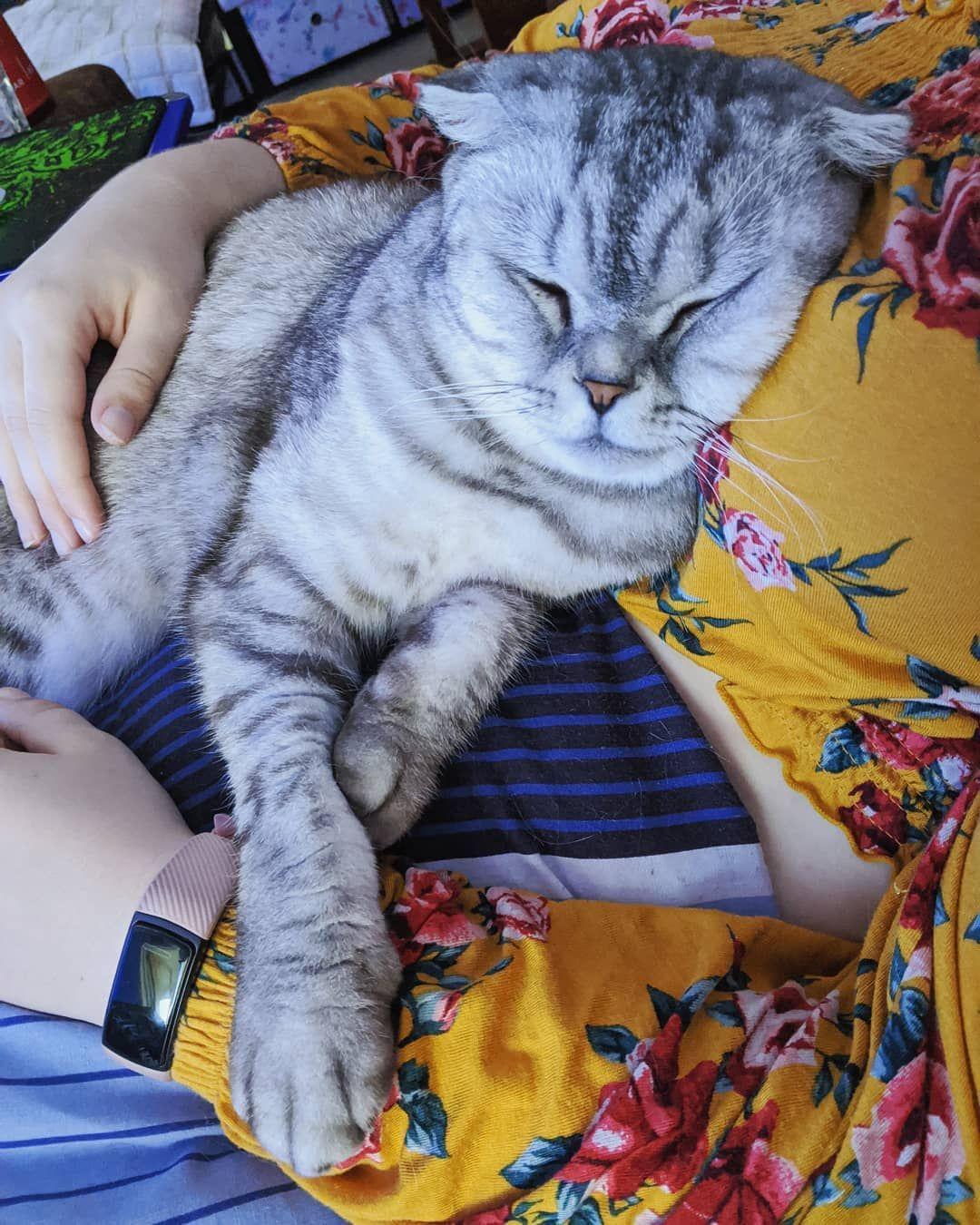 🐈🐾💗 Heaven 💗🐾🐈 • • • • • • •  #aw #scottishfold #scottish_fold #cat #aww #adorable #adorableanimals #cute #cuteanimals #meow #catsofinstagram #cats_of_instagram #cats_of_world #catsoftheweek #catsoftheday #instacat #instagram #animals #ilovemycat #kitty #kittys #petsagram #catlover #catlovers #pet #petsofinsta #worldofcutepets #petsofinstagram #instagood #followme