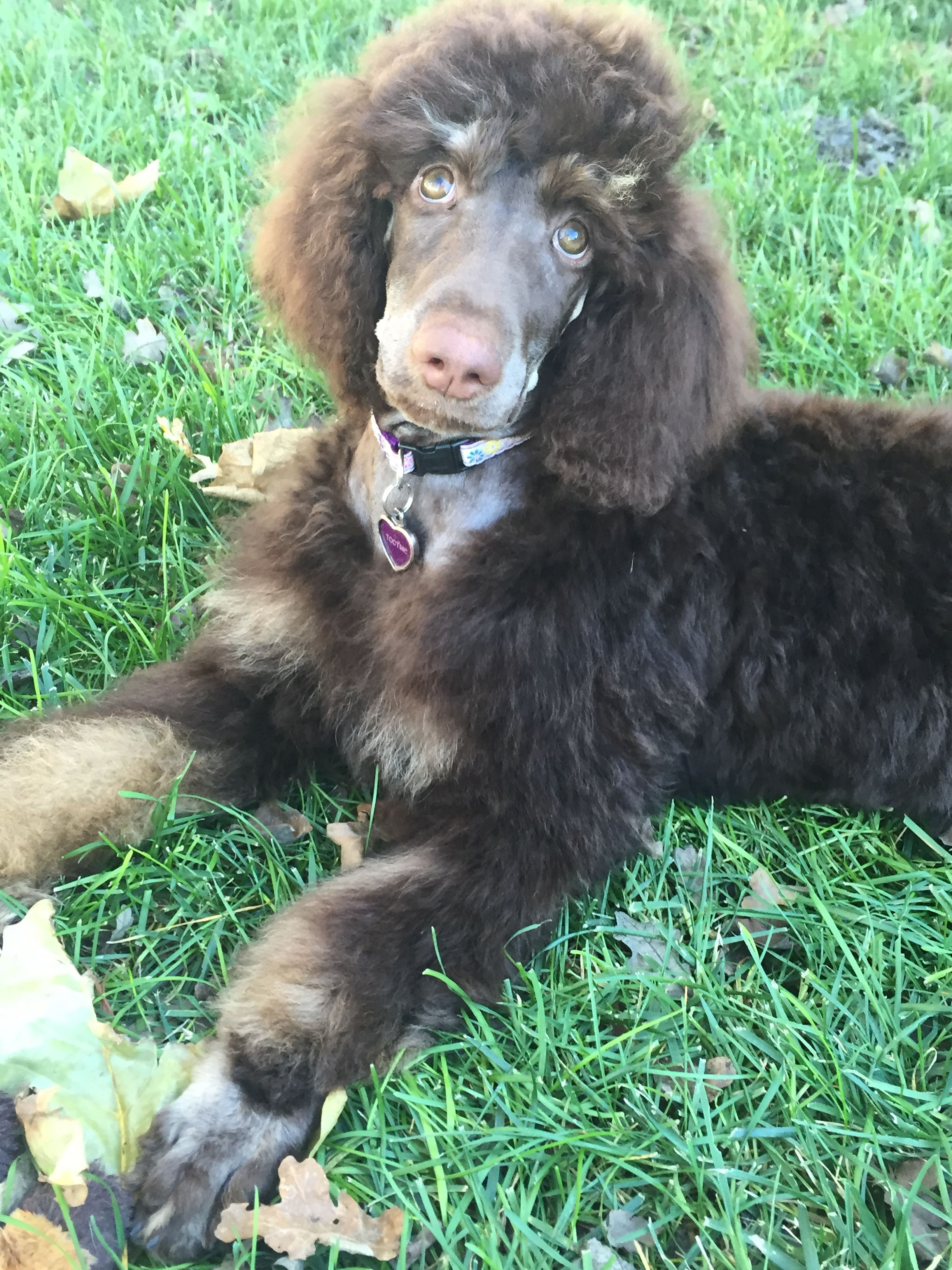 Chocolate Phantom Standard Poodle Puppy At 15 Weeks Poodle