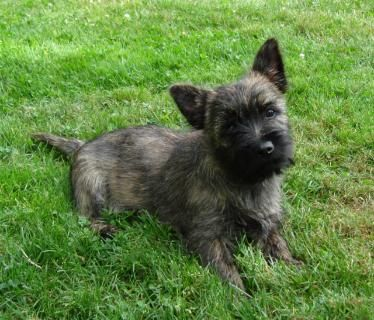 Dark Brindle Puppy Cairn Terrier Puppies Terrier Puppies