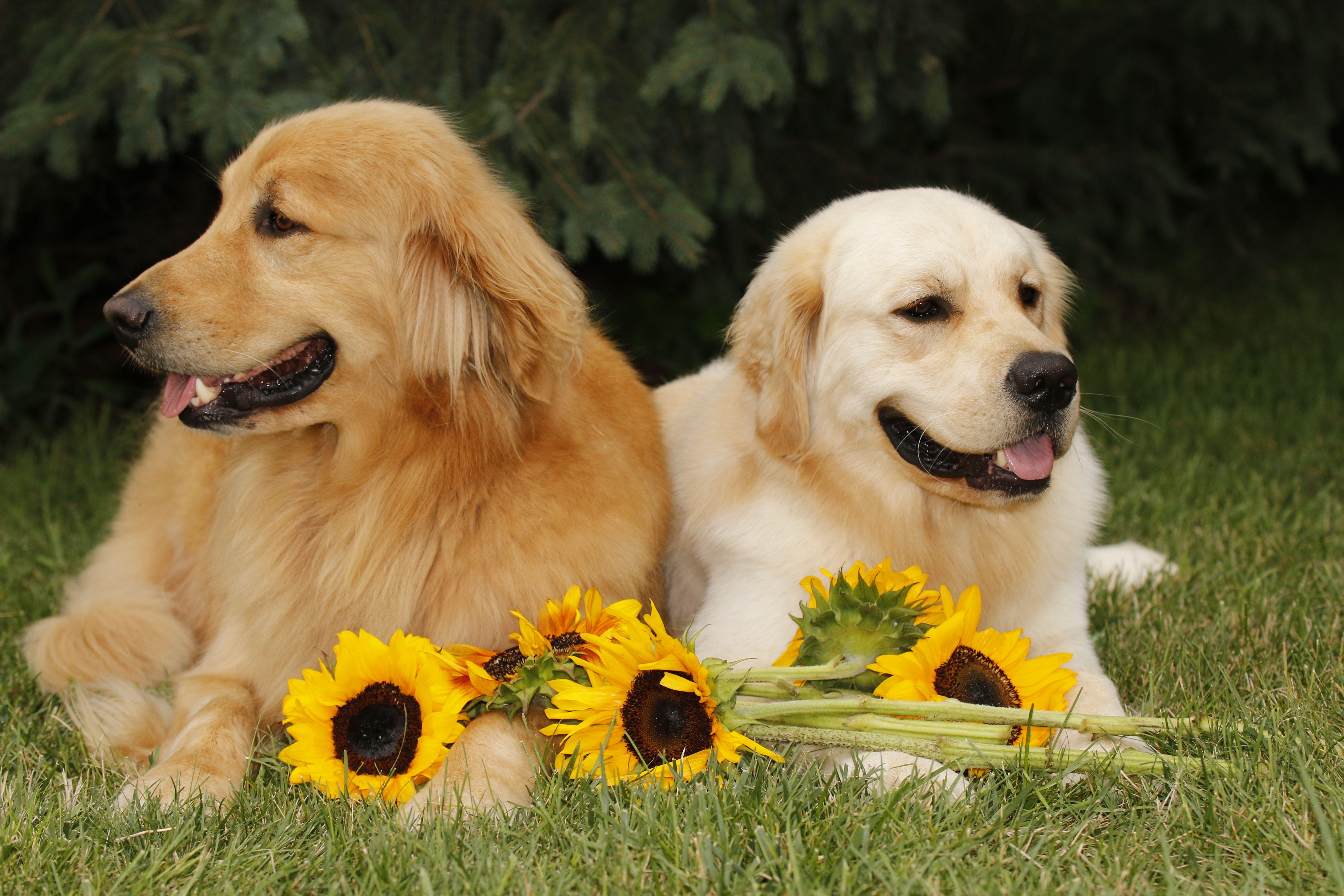 Finn And Teddy Golden Labrador Fur Babies Dogs