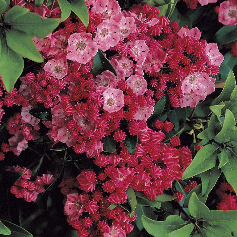 Kalmia latifolia Minuet Lorbeerrose Minuet Berglorbeer