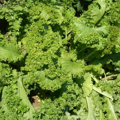 """BRASSICACEAE: Indian Mustard, """"Southern Giant Curled"""" ; very good cold tolerance, large, upright variety with curled, crinkled, dark green leaves having frilled edges, very ornamental. resists bolting."""