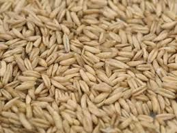 Hulless Oats RAW Certified Organic Non-GMO Sprouting Seeds 1 POUND