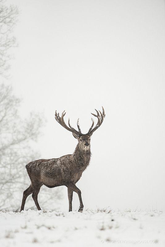 Red Deer stag in snow