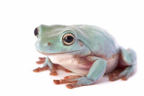 White S Tree Frog Litoria Caerulea Blue Phase Specimens Whites Tree Frog Tree Frogs Cute Frogs