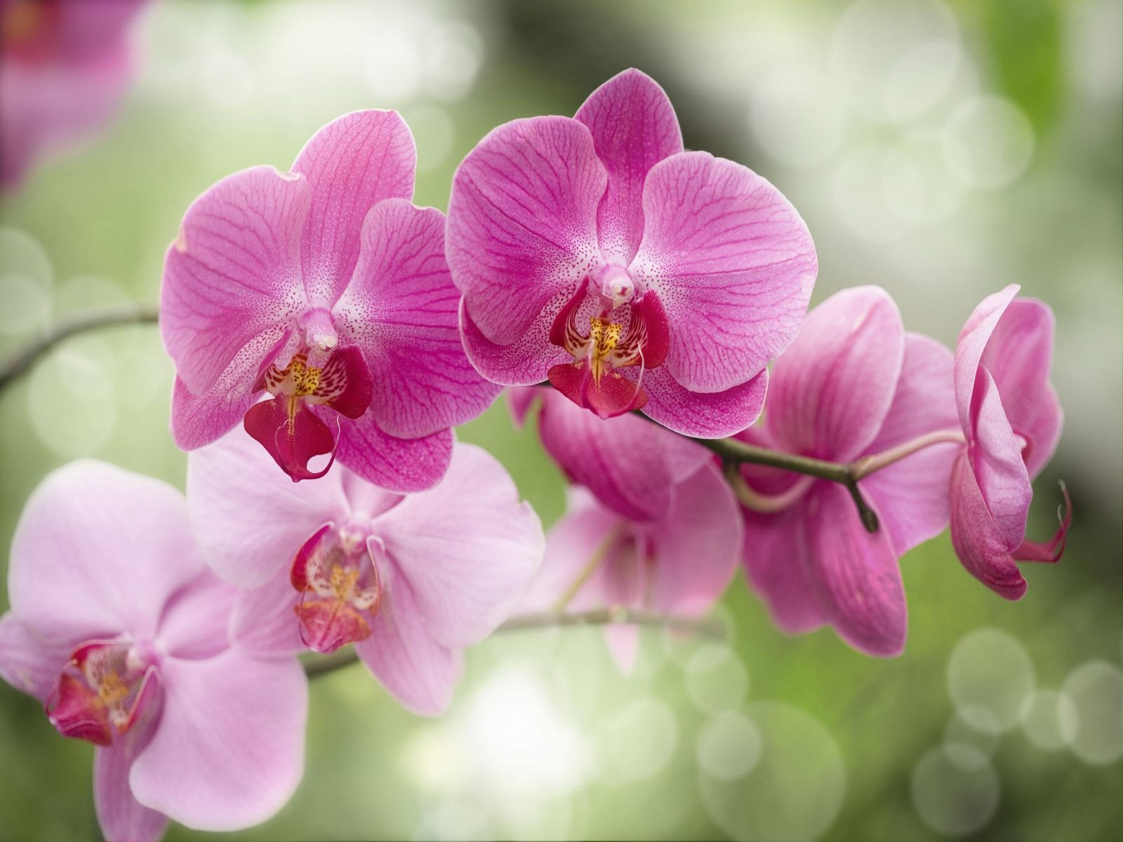 Purple orchids wallpaper viewing gallery 1600x1200px wallpaper the most beautiful orchids wallpaper collection in the world orchids the king of flowers with diverse species color around the world izmirmasajfo