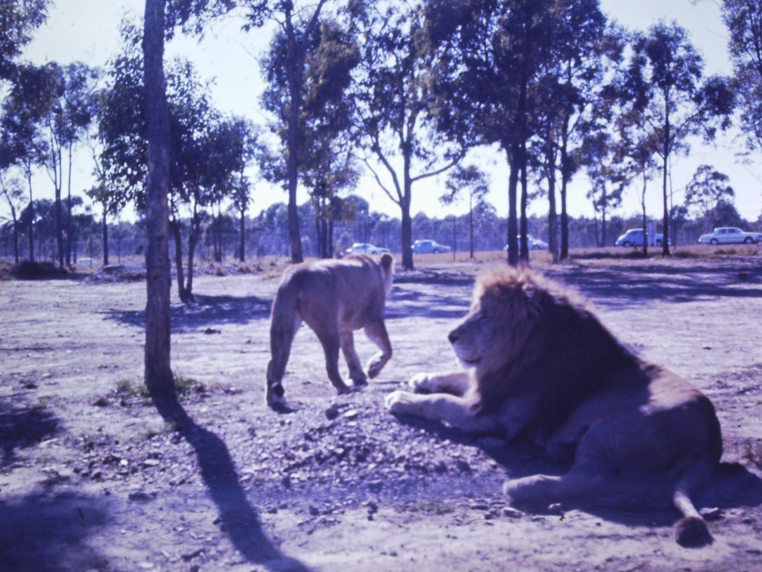 Who Remembers, The Drive Thru Lion Park? Bullens African Lion Safari Park  At Warragamba Dam Opened In 1968.