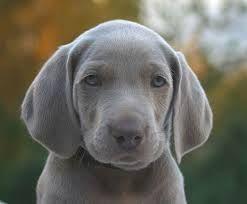 Image Result For Grey Hunting Dog Weimaraner Weimaraner Puppies