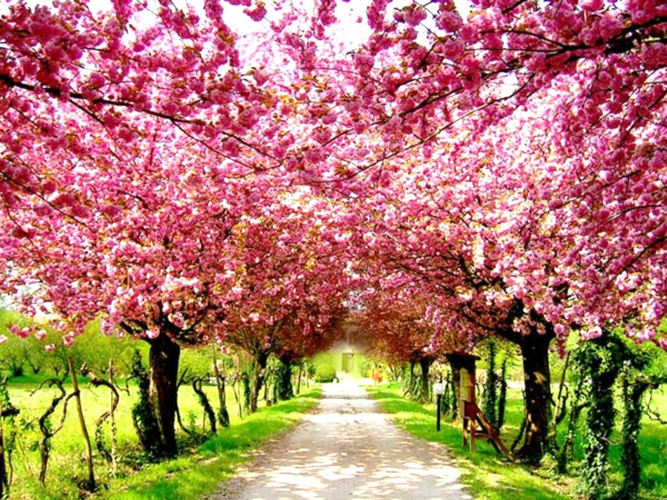 Cherry Blossoms Tokyo Pink Trees Beautiful Tree Blossom Trees