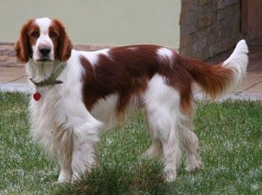 Welsh Springer Spaniel. Like a small Golden Retriever without the gold. And with red.