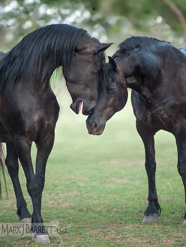 Friesian-Arabian cross horses -  Stallion and mare.