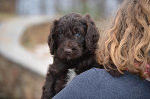 Newfypoo Puppy Https Www Newfiedoodles Com Newfiedoodle Newfypoo Newfy Poodle Puppy Puppies Newfypoopuppies F1b Poodle Mix Dogs Puppies Cute Animals