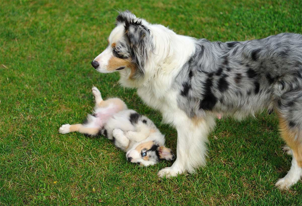 Border Collies Are Highly Intelligent Affectionate Loyal And Energetic Dogs Who Crave Their Owners Aff In 2020 Collie Puppies Australian Shepherd Border Collie Puppies