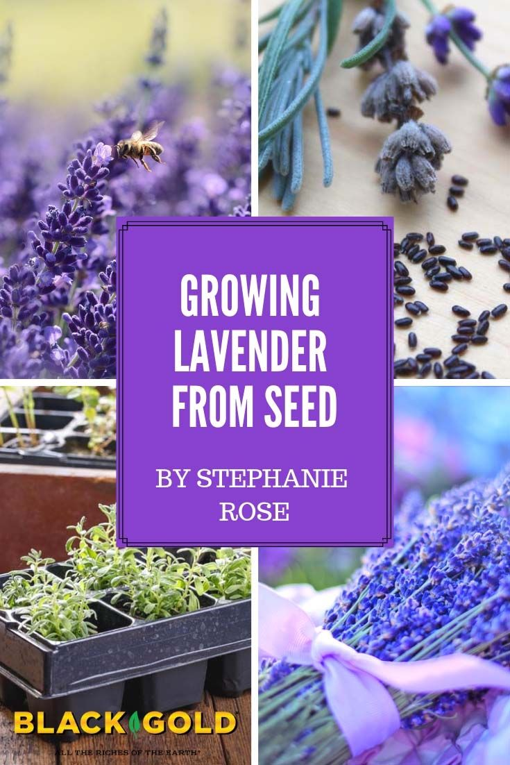 How to grow lavender from seed growing lavender growing
