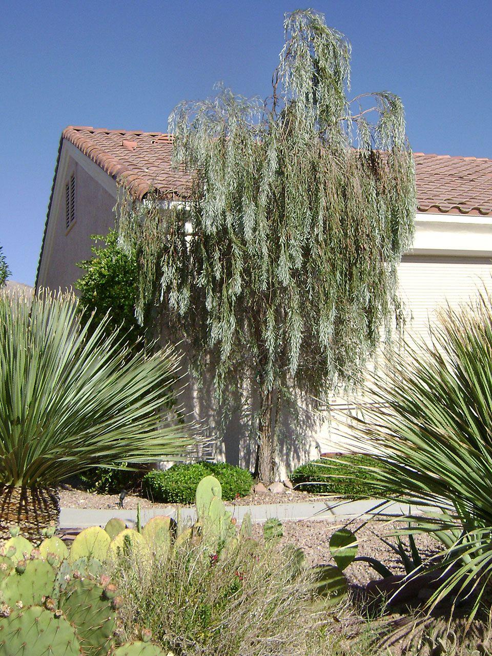 Weeping Acacia Weeping Myall Acacia Pendula Plants That Can