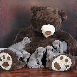 Weimaraner Puppies Ohio Akc Addie Was Born In Zanesville Ohio