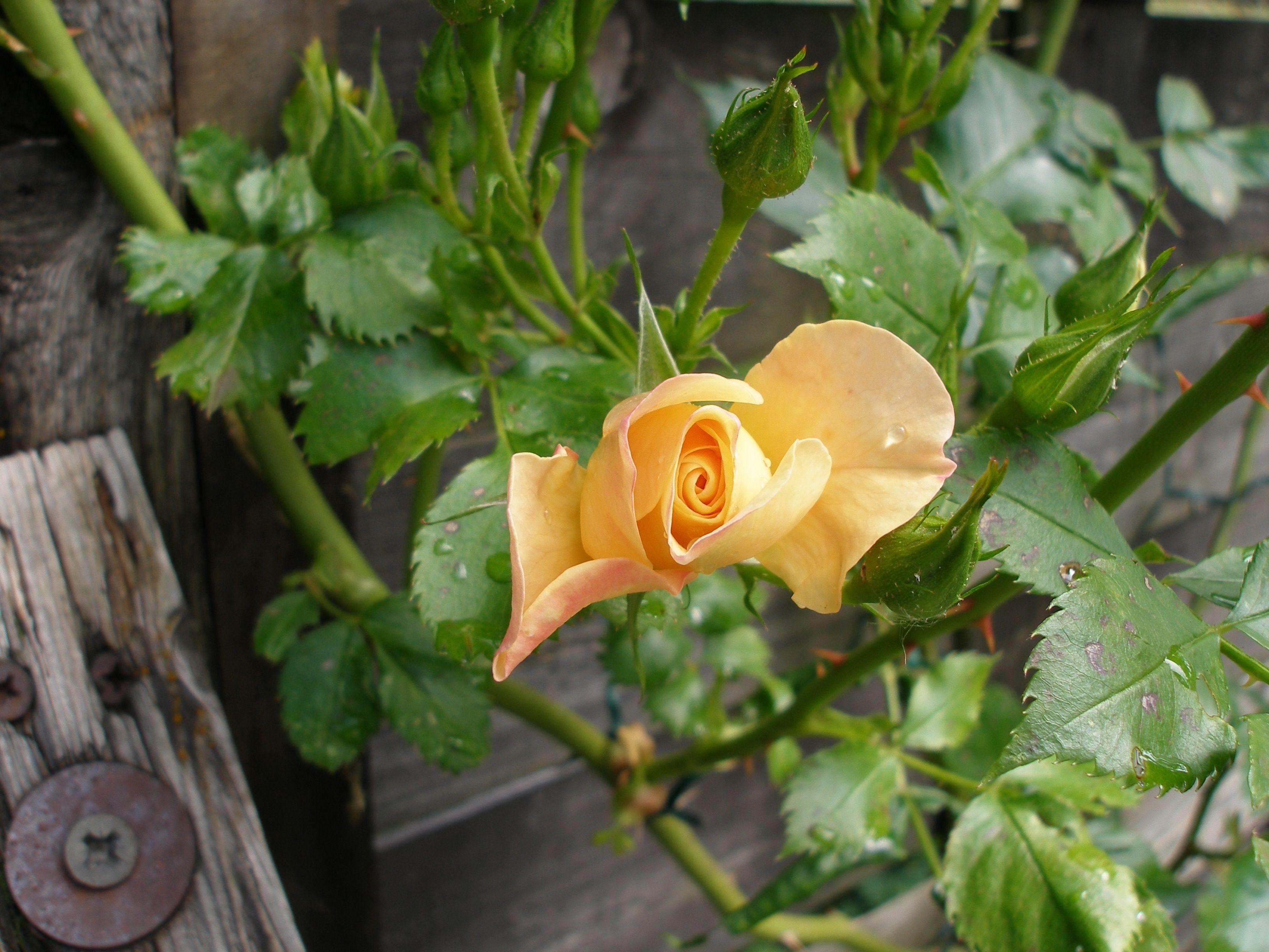 Rosa Pas de Deux