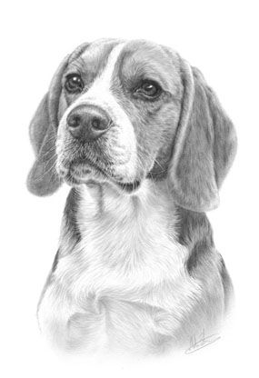 Beagle Pencil Drawings Of Animals Beagle Art Animal Drawings
