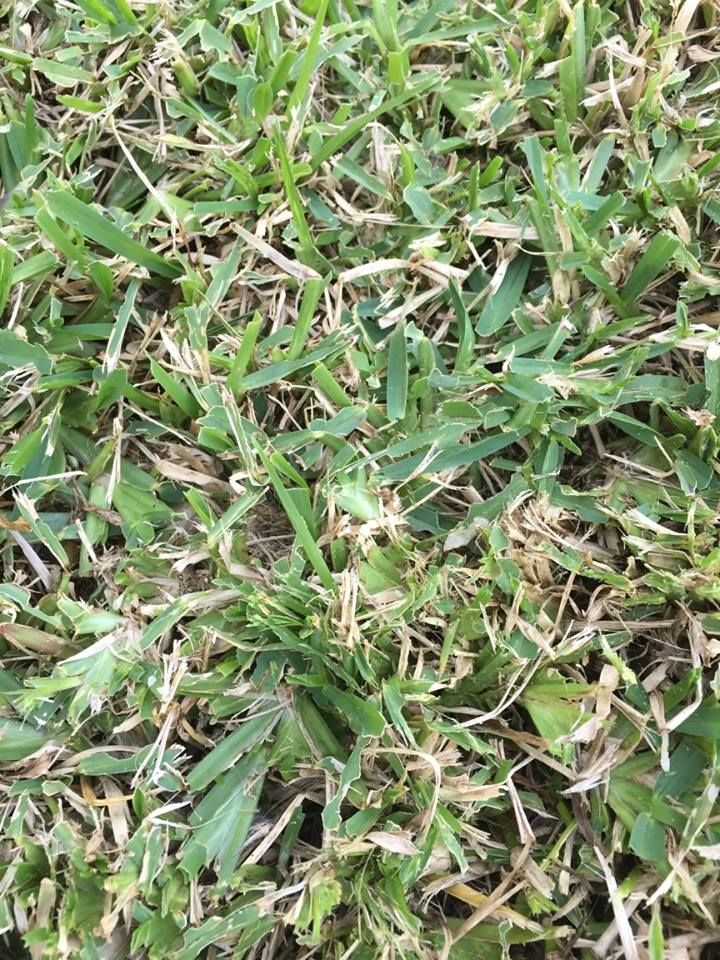 Army Worm Damage To A Buffalo Lawn Have A Close Look At The Irregular Leaf Damage Done By The Army Worm Lawn Plants Leaves