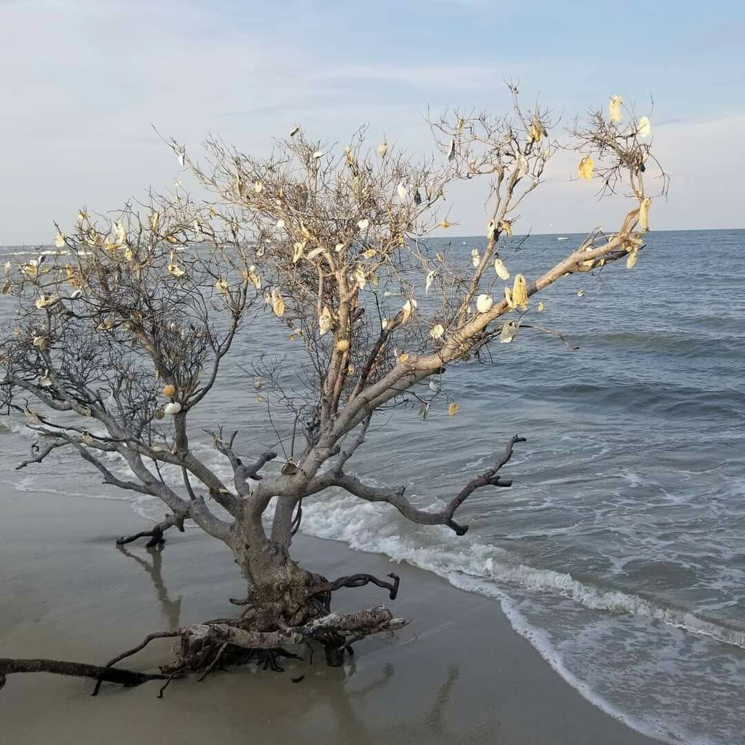 Shell Tree On Pawleys Island Sc South Carolina Pinterest