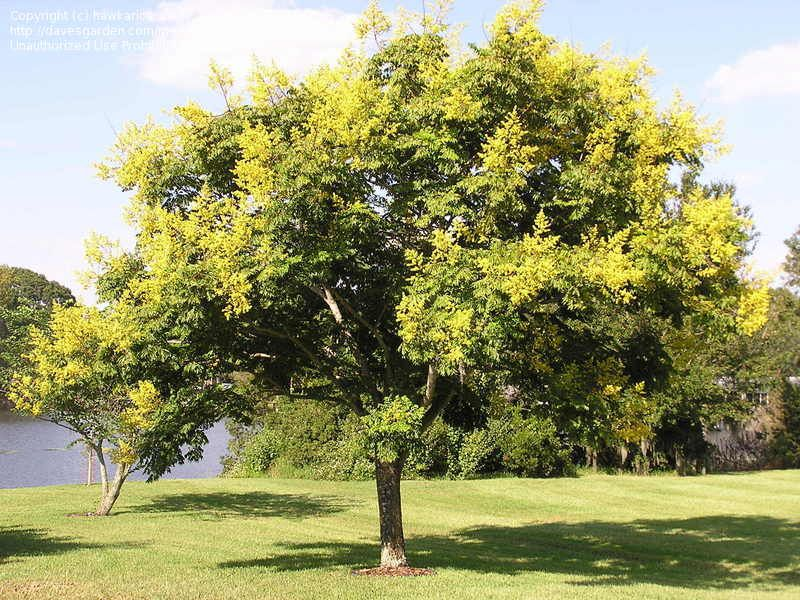 Full Size Picture Of Golden Rain Tree Golden Raintree Panicled Goldenraintree Koelreuteria Paniculata Golden Rain Tree Trees To Plant Tree