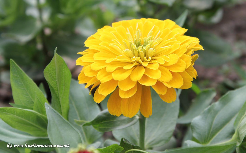 Zinnias zinnia pictureszinnia flower pictures gardening zinnias zinnia pictureszinnia flower pictures mightylinksfo