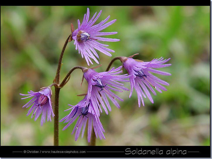 Soldanella Alpina Outside Plants Alpine Flowers Flowers