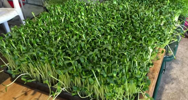 how to grow sprouts in soil at home