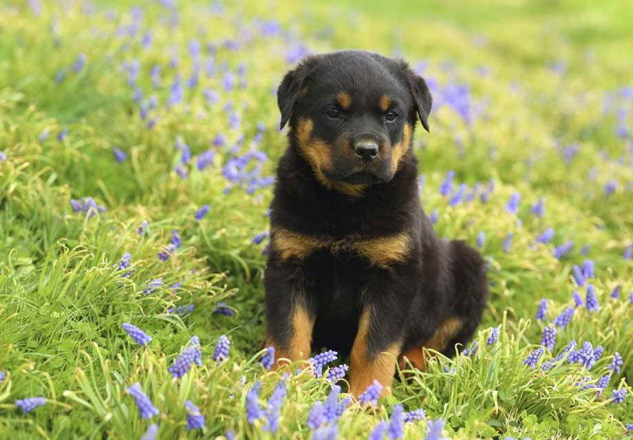American Rottweiler Puppies For Sale Rottweiler Dog Rottweiler