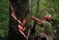 Pica del árbol de chicozapote, para la obtención del # chicle natural.