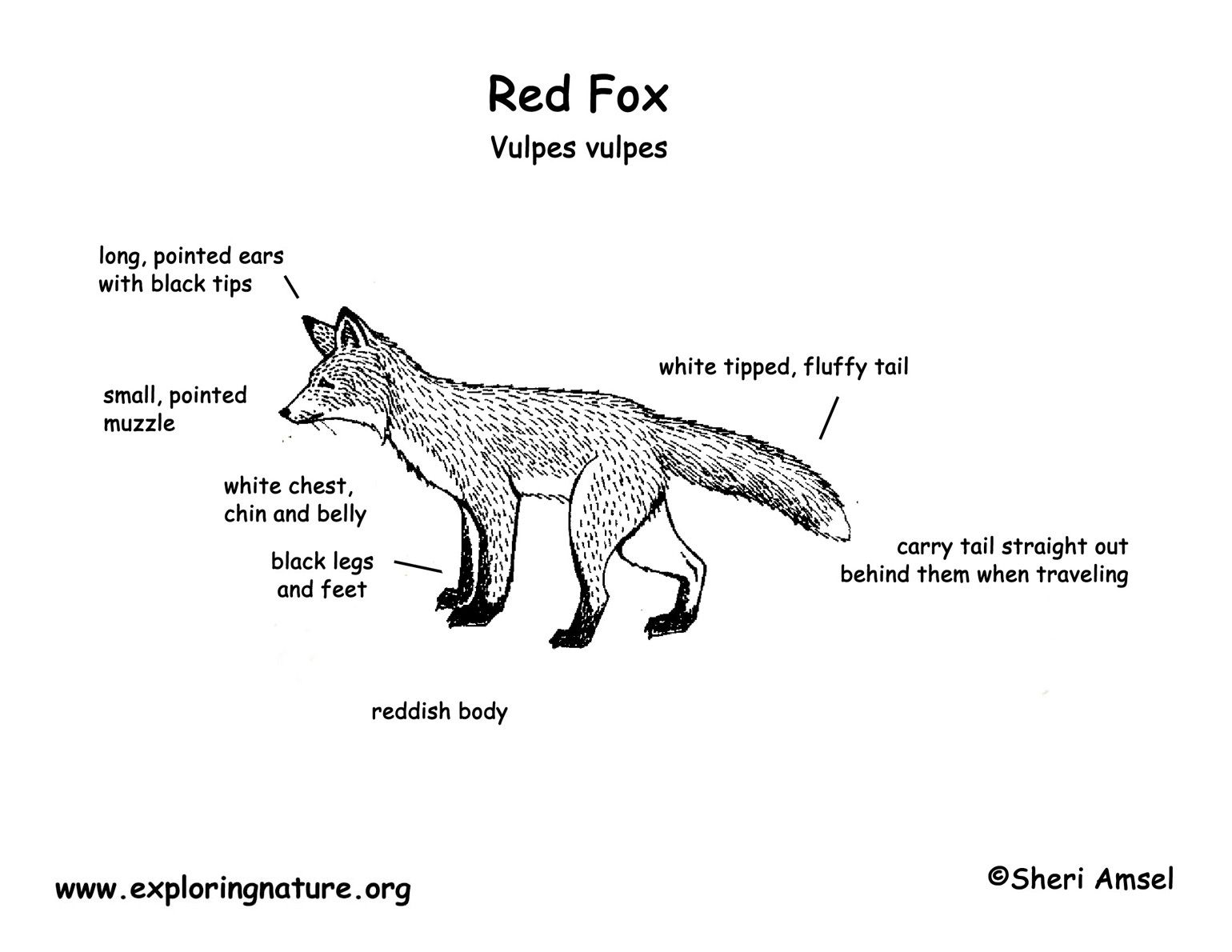 Body Diagram Of A Red Fox