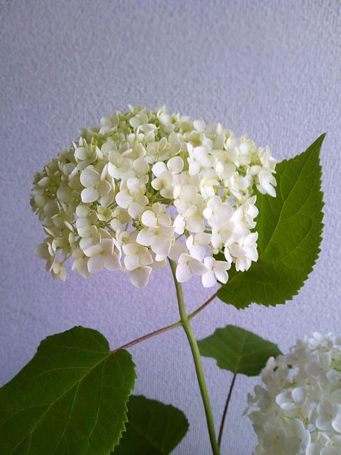 紫陽花 アナベル 画像あり 紫陽花