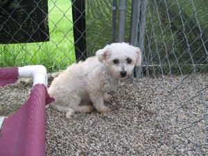 Adopt Shortcake On Bichon Frise Dogs Adoption