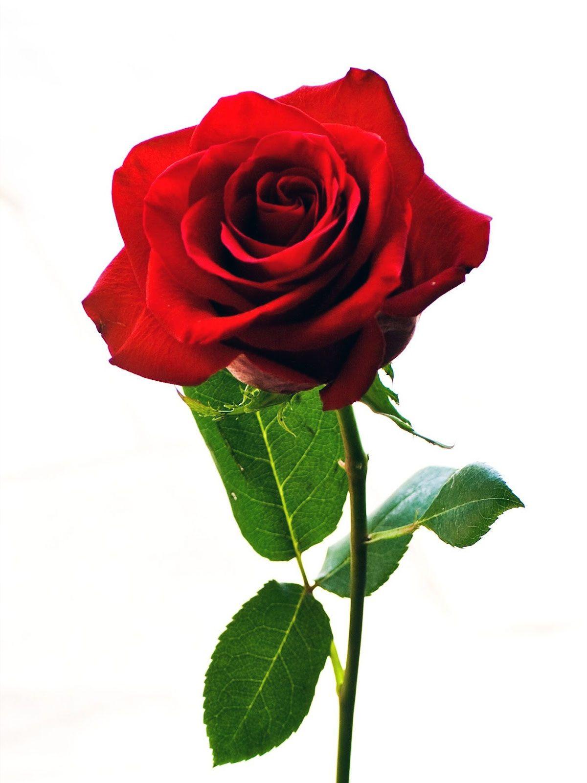 Tribal Bunga Mawar - Free Rose Svg File Transparent PNG