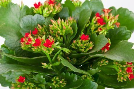 Cuidados del kalanchoes 17 kalanchoes pinterest for Cactus cuidados exterior