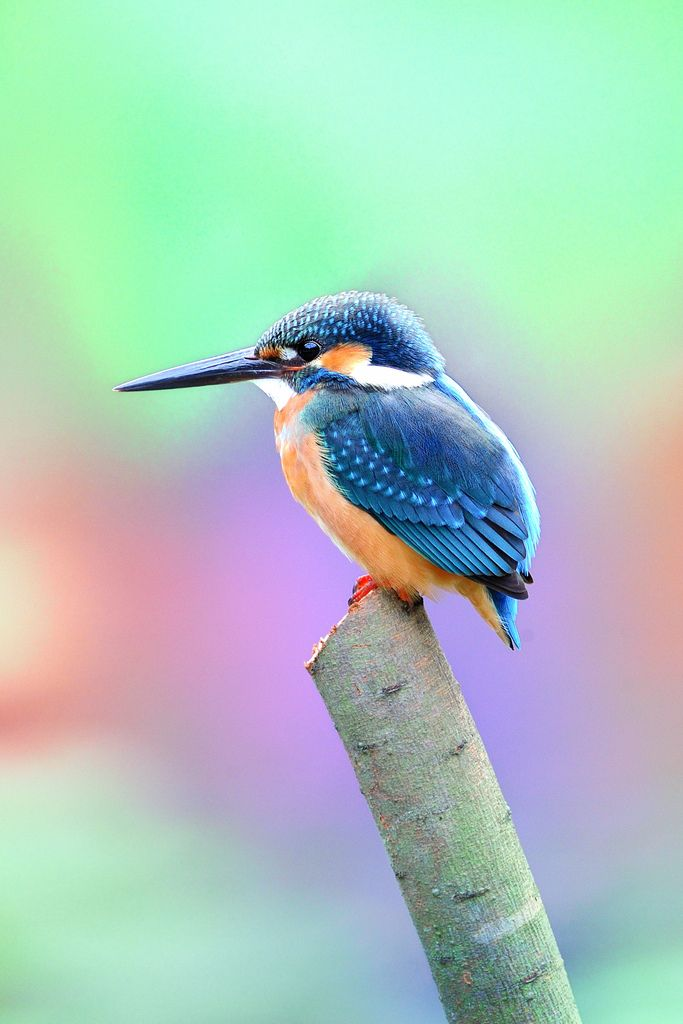 Common Kingfisher Alcedo Atthis Also Known As Eurasian Or River It Is A Small With Seven Subspecies Recognized Within