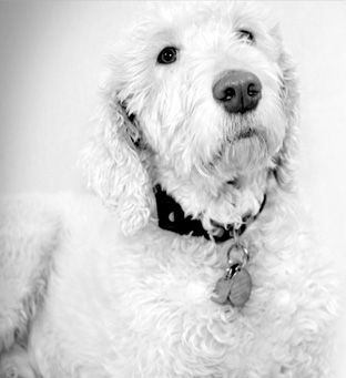 Dexter K9 Intern Dexter Is A Tranquil Labradoodle And Belongs To