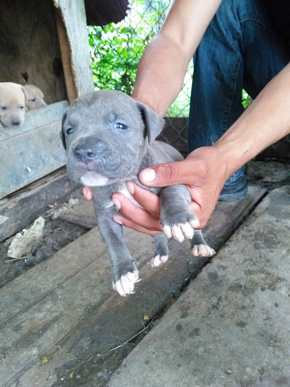 For sale blue nose pitbull puppies item posted in the accessories