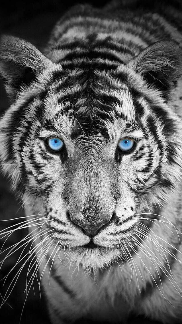 White Tiger Iphone Wallpaper Download Animals Cats Tiger Wallpaper