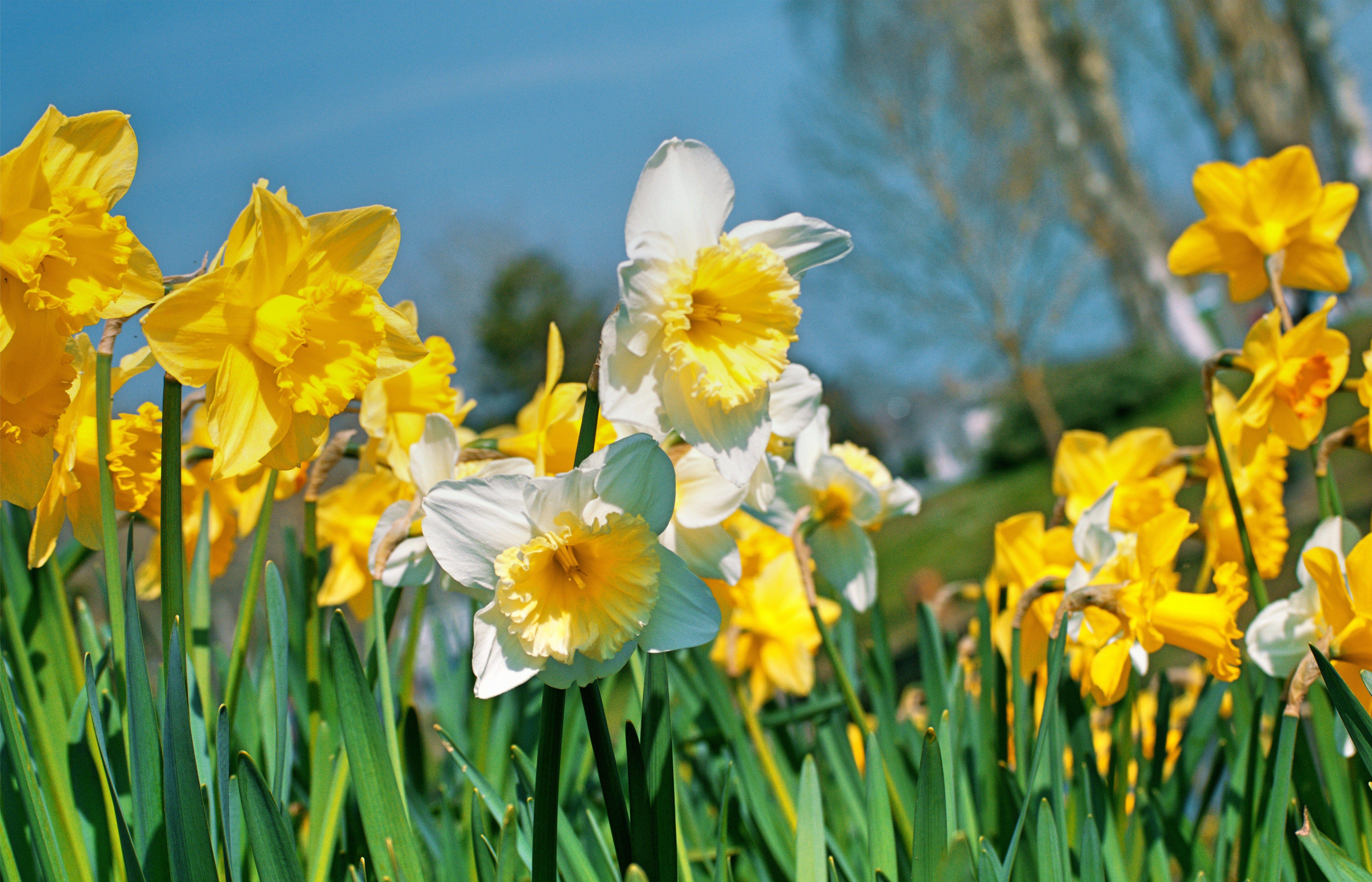Spring Flowers Daffodils Gardening Pinterest Spring Flowers