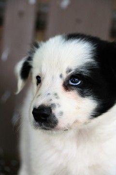 Border Collie Puppy For Sale In Berwick Pa Adn 44408 On Puppyfinder Com Gender Male Age 7 Weeks Old Collie Puppies For Sale Collie Puppies Border Collie Puppies