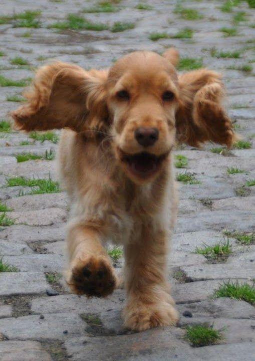 English Cocker Spaniel Pup Classic Look Cocker Anglais Chiot Cocker Anglais Chiots Epagneul