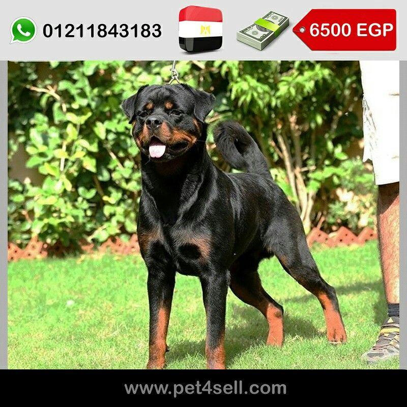 Egypt Cairo Best Rottweiler Male In Egypt Champion Bloodline For