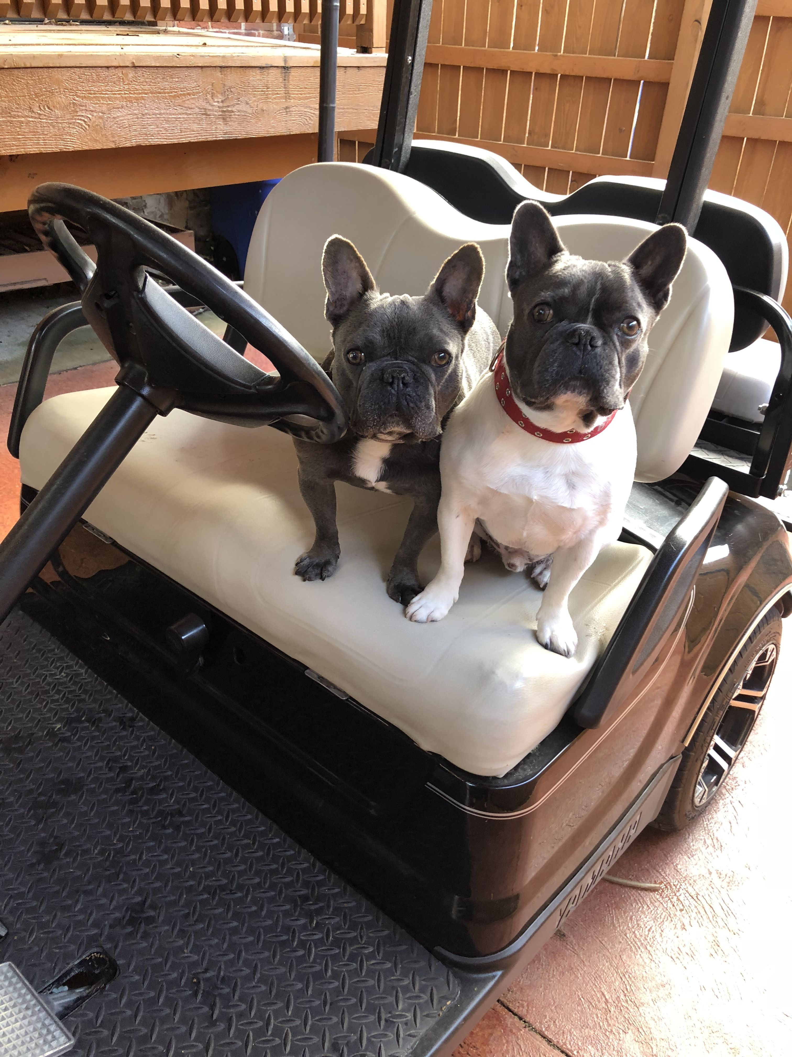 Theo Finn The French Bulldogs Are Ready For A Golf Cart Ride