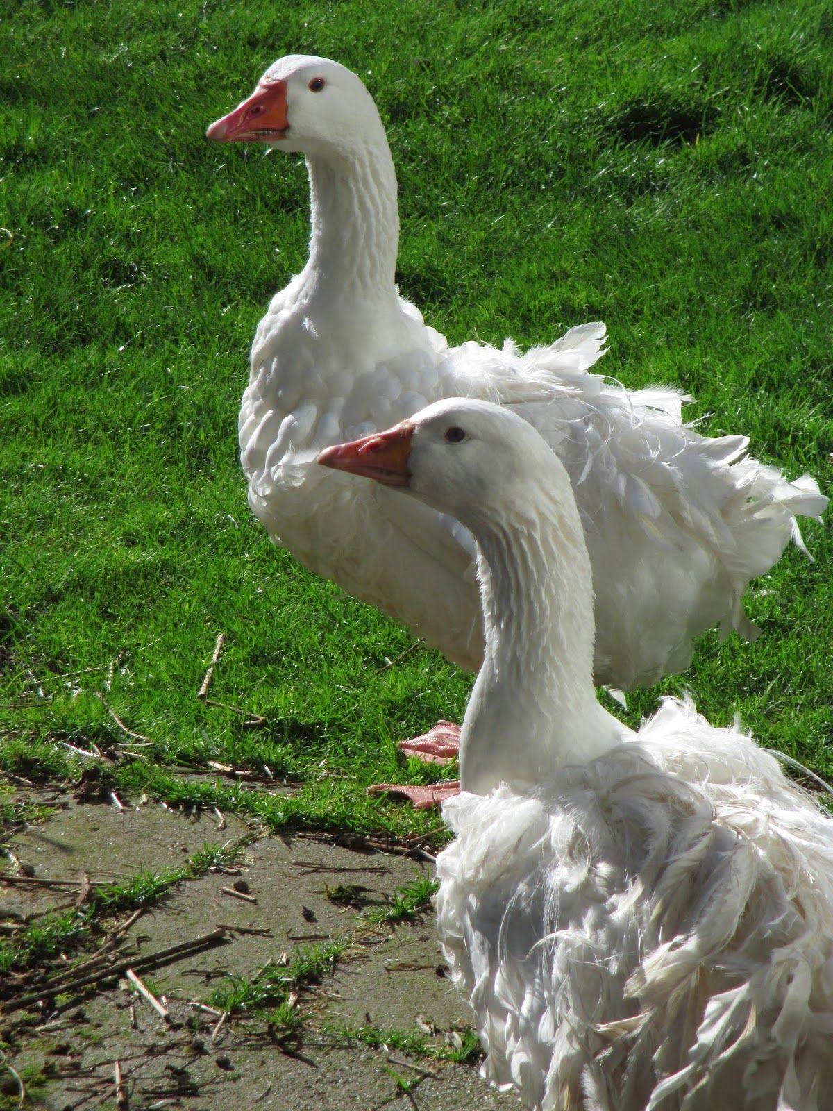 Popular Domesticated Goose Breeds Sebastopol Goose Breed Amazing Animals