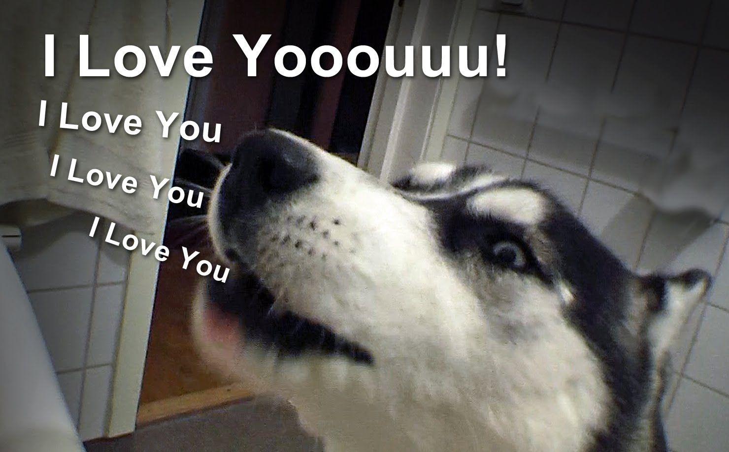 Talking Siberian Husky I Love You Dog Talking Dog Speaking