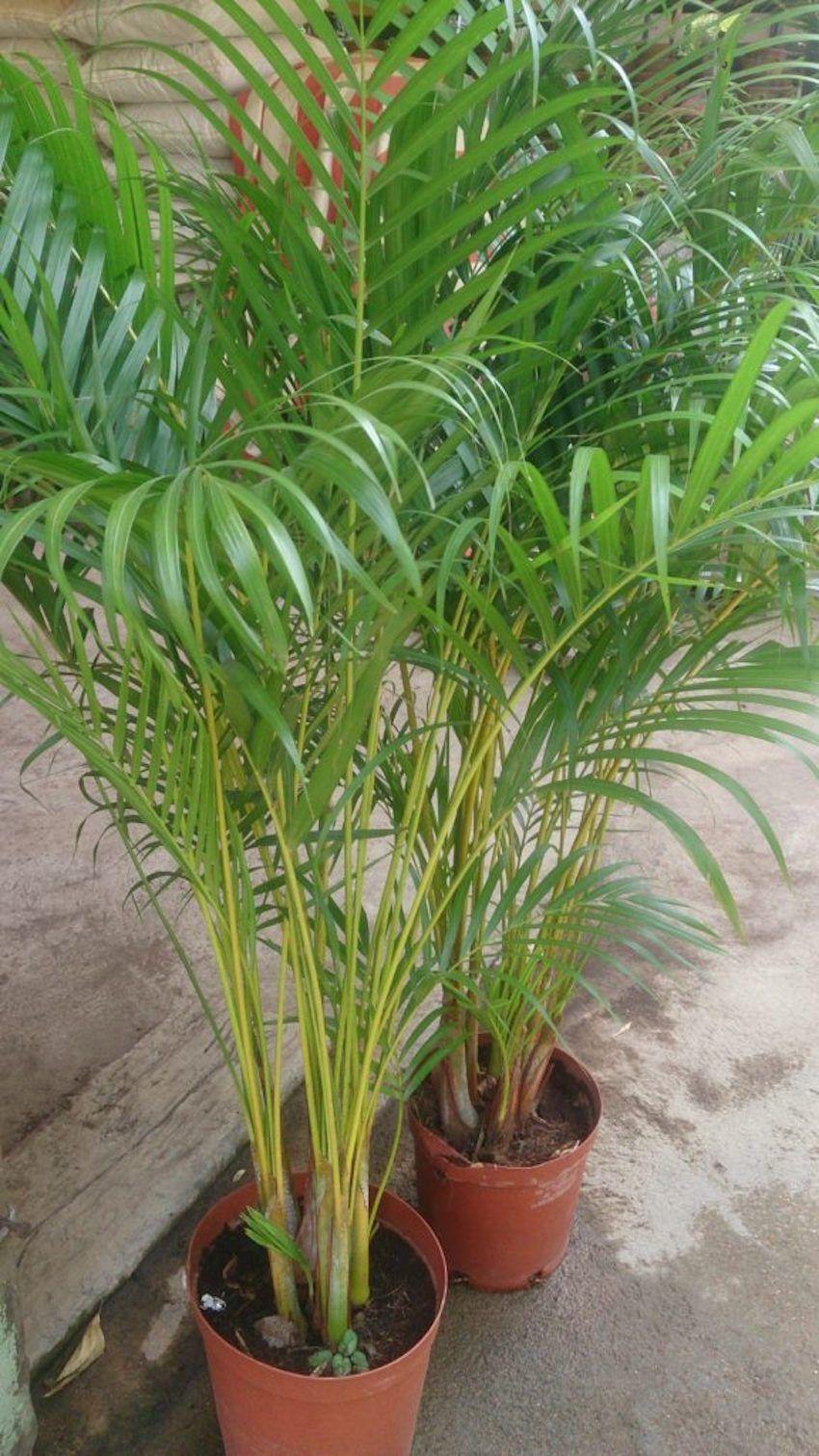 Rosliny Oczyszczajace Powietrze 20 Gatunkow Do Twojego Domu Areka Plants Areca Palm Indoor Indoor Palm Trees