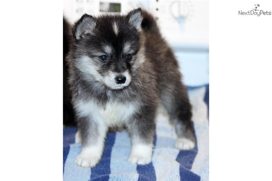 Pomsky Puppies Alaskan Klee Kai Puppy For Sale Near Ft Myers